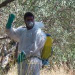 Ανακοινώθηκαν οι πιστώσεις για το πρόγραμμα δακοκτονίας στην Κρήτη