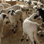 Μελέτη της Περιφέρειας για την κατοχύρωση ως ΠΟΠ του «Αρνιού Κρήτης»