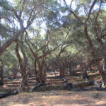 Παρουσιάζεται το φωτογραφικό λεύκωμα για τις αιωνόβιες ελιές της Κρήτης