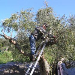 Η Περιφέρεια Κρήτης έχει έτοιμη πρόταση και ζητά την αποζημίωση για τις ζημιές στην ελαιοκαλλιέργεια