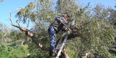 Έλλειψη εργατικών χεριών στην Κρήτη ενόψει της ελαιοκομικής περιόδου