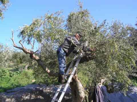 Κατατέθηκε από την Περιφέρεια ο φάκελος με τα στοιχεία που αναδεικνύουν τη μείωση της ελαιοπαραγωγής στην Κρήτη