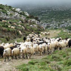 Περιφέρεια: Προγραμματική σύμβαση για τα βοσκοτόπια της Κρήτης