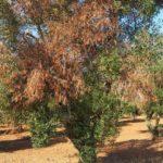 Ημερίδα για το φυτοπαθογόνο βακτήριο Xylella fastidiosa στο Ινστιτούτο Ελιάς Χανίων