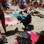 Κατσίκα στα Σεϊτάν Λιμάνια, τρώει από τους λουόμενους και σκορπάει γέλιο