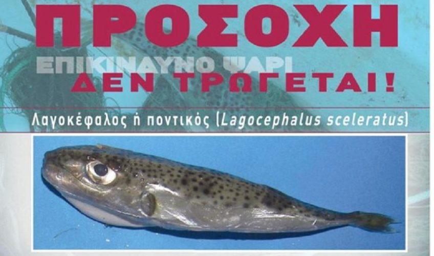 Περιφέρεια Κρήτης: Σε καμία περίπτωση να μην καταναλώνεται ο λαγοκέφαλος