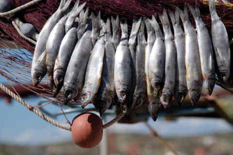 Γιορτή ψαριού απόψε στο Ναυταθλητικό της Σούδας