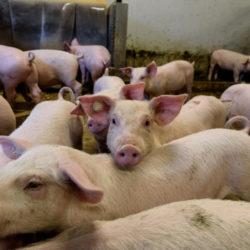 Οδηγίες για την αποφυγή εξάπλωσης νόσου των χοίρων που εμφανίσθηκε στην Βουλγαρία