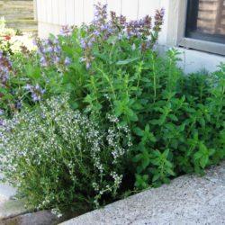 Εκπαιδευτικό πρόγραμμα για αρωματικά και φαρμακευτικά φυτά στο ΜΑΙΧ