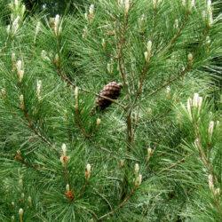 Ανησυχία στην Κρήτη για την ασθένεια που ξεραίνει τα πεύκα