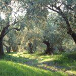 ΣΕΔΗΚ: Να αποζημιώνονται και οι ζημιές στις ελαιοκαλλιέργειες λόγω καύσωνα