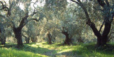 Ξεκίνησε η ελαιοσυλλογή στην Κρήτη. Οδηγίες στους παραγωγούς
