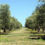 Γιάννης Μαλανδράκης: Να αλλάξει ο κανονισμός αποζημιώσεων του ΕΛΓΑ, προς όφελος των ελαιοπαραγωγών