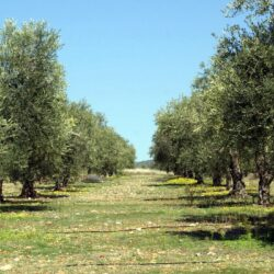 Προγραμματική σύμβαση Περιφέρειας Κρήτης-ΙΤΕ-ΕΛ.ΜΕ.ΠΑ. για την φυτοπροστασία της ελιάς