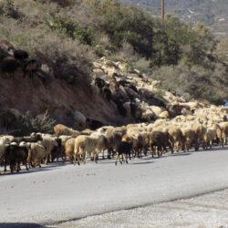 Βαριά πρόστιμα σε κτηνοτρόφους που προκαλούν ζημιές σε καλλιέργειες