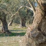 Περιφέρεια Κρήτης: Συστάσεις ορθής εφαρμογής ψεκασμών καλύψεως στην καλλιέργεια της ελιάς