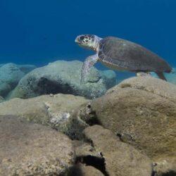 SOS για τις χελώνες καρέτα - καρέτα στην Κρήτη