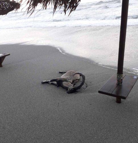Νεκρό κρι-κρι «ξέβρασε» η θάλασσα στον Πλατανιά
